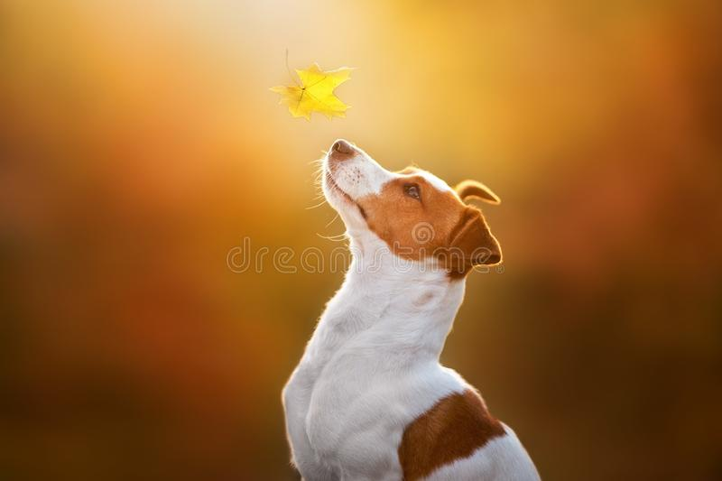 Jack russel close up portrait. With autumn leaves at sunlight stock photography