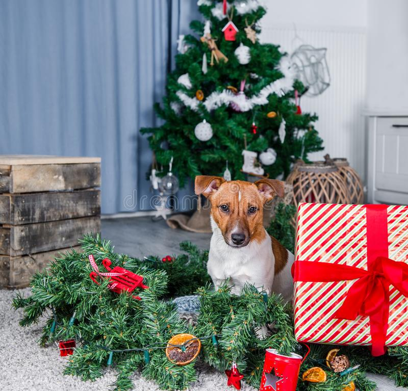 Adorable Christmas dog royalty free stock photos