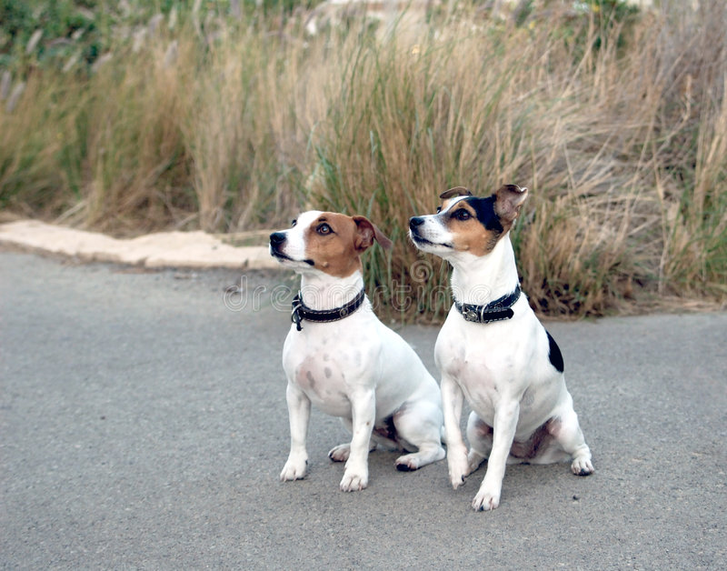 Jack Russel  dogs