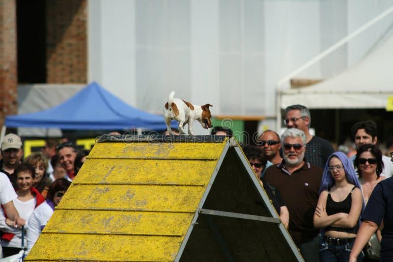 Jack Russel et agilité de chien photographie stock