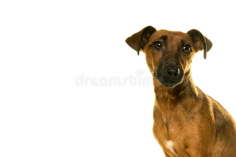 Jack Russel female portrait isolated in white. Jack Russel female portrait isolated in a white background royalty free stock photo