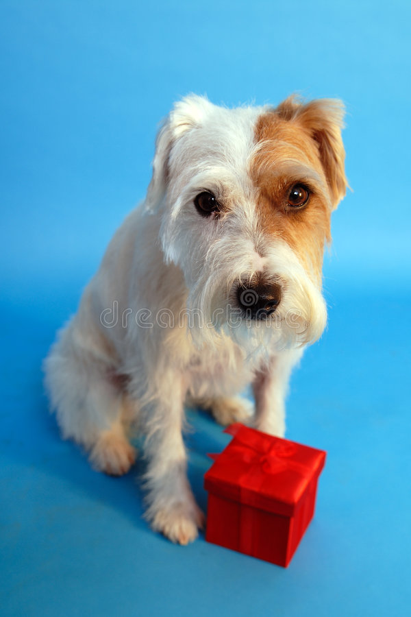 Jack russel with gift box stock photography