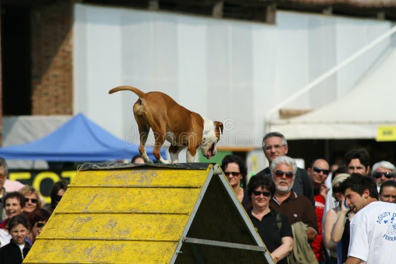 Jack Russel i psia zwinność zdjęcie stock