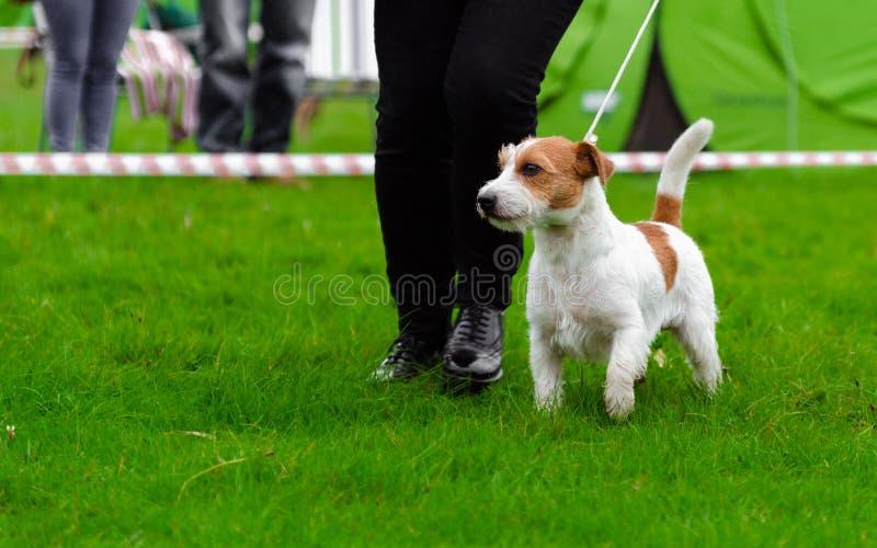 Jack Russel más terier en exposición canina fotografía de archivo