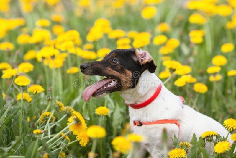 Jack russel op bloemweide stock foto's