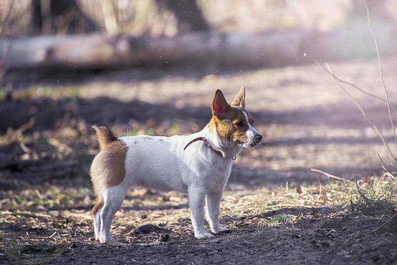 Jack Russel Parson Dog Run Toward der Kamera-niedriger Winkel-Hochgeschwindigkeitsschu? lizenzfreies stockfoto