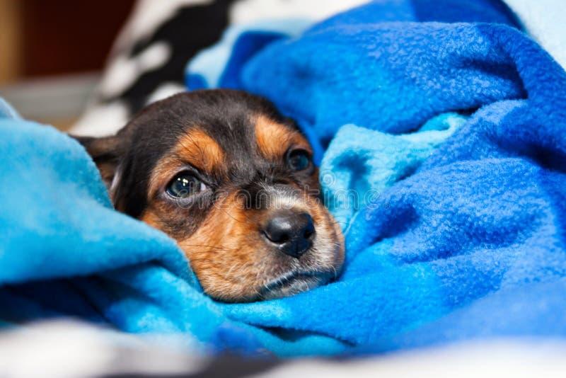 Jack Russel-puppy stock foto's