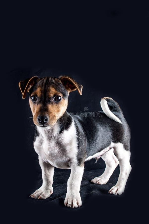 Jack Russel Puppy royaltyfria foton