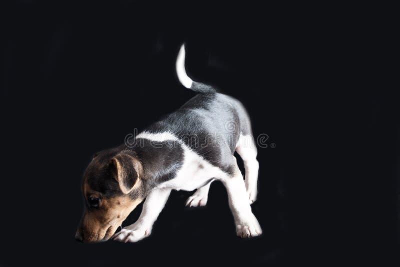 Jack Russel Puppy royaltyfria bilder