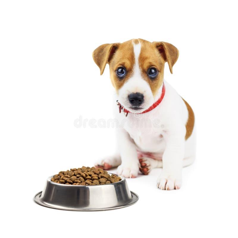 Jack russel puppy met voedsel op wit wordt geïsoleerd dat stock fotografie