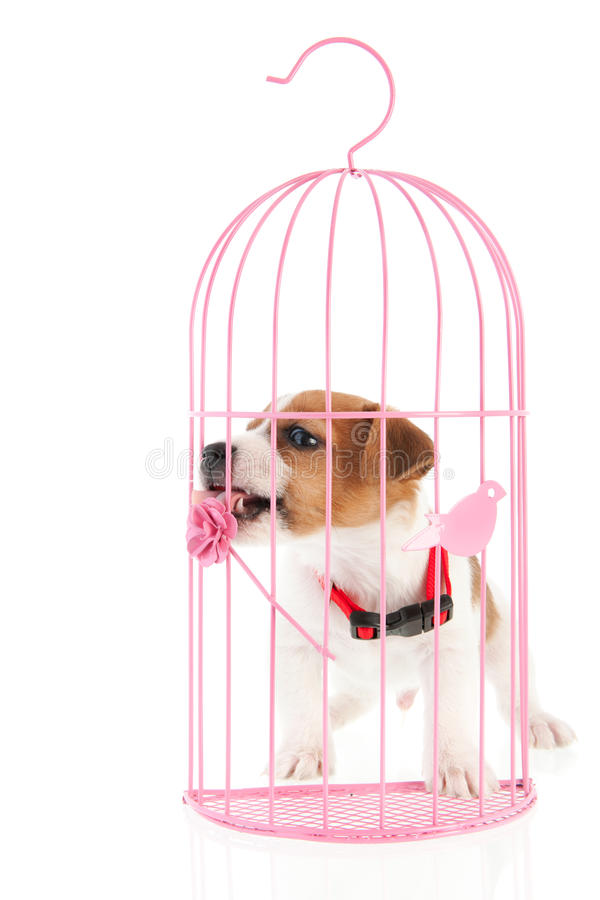 Jack Russel In Romantic Cage Royalty Free Stock Photo