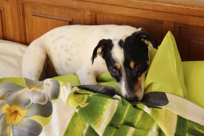 Jack Russel que encontra-se em uma cama imagens de stock