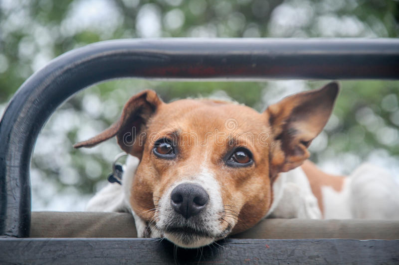 Download Jack Russel Starring At The Camera. Stock Image - Image: 83724311