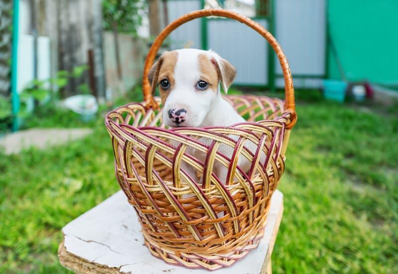 Jack Russel szczeniaka obsiadanie w koszu w ogródzie obrazy stock