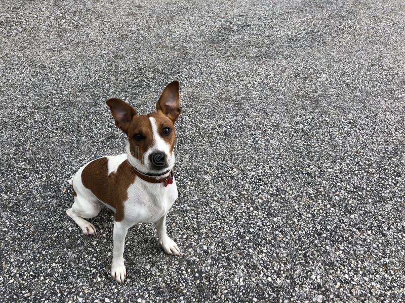 Jack Russel szczeniaka psa przyjaciela śliczny obsiadanie na asfaltowym boisku obraz royalty free