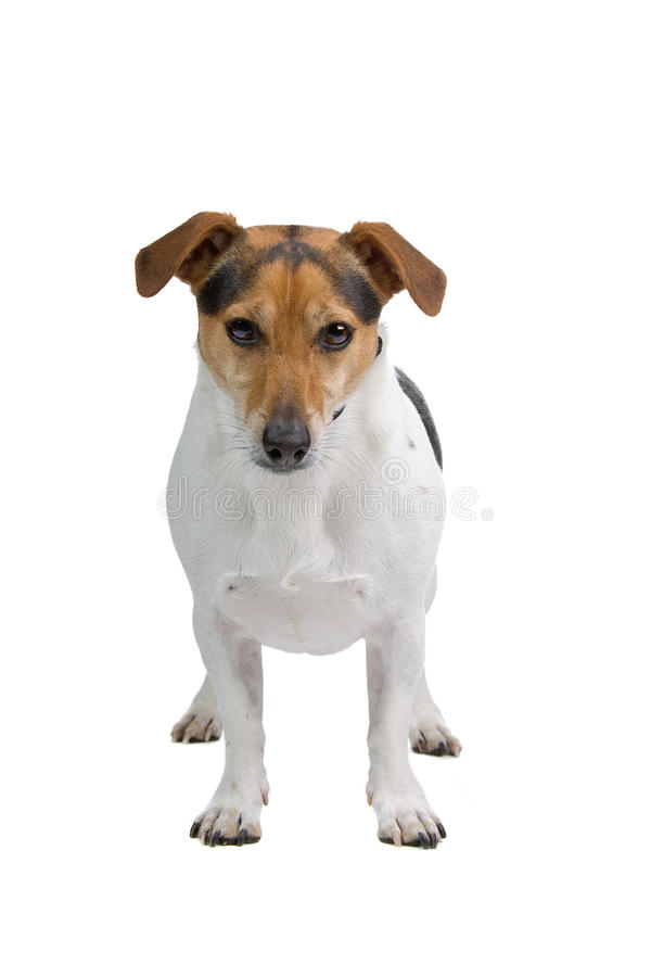 Download Jack Russel terrier stock photo. Image of background - 12110592