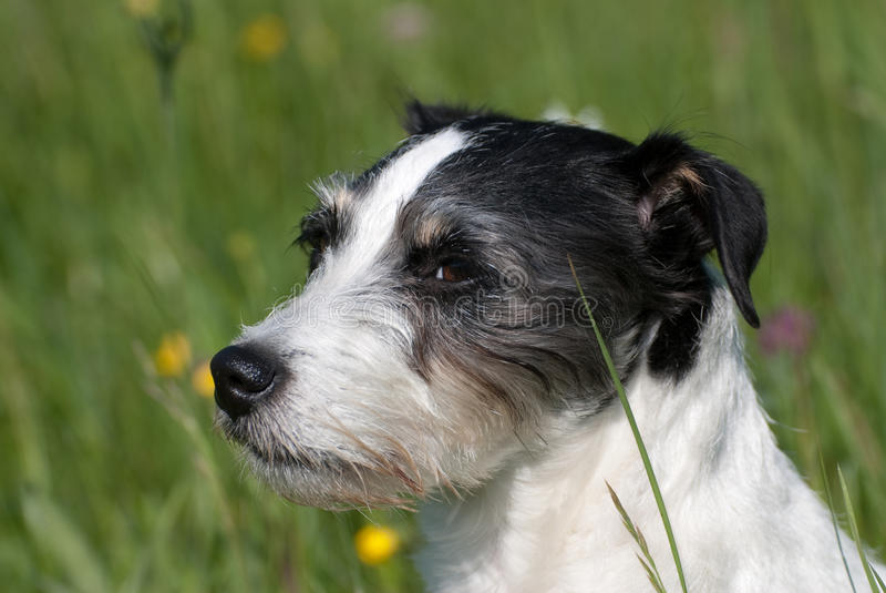 Download Jack russel terrier stock photo. Image of cute, single - 26690918