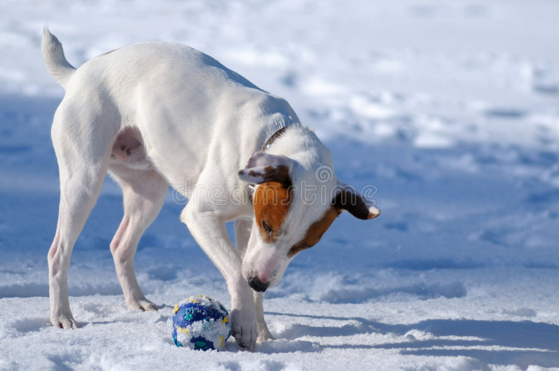Download Jack Russel terrier stock image. Image of winter, hound - 7083763
