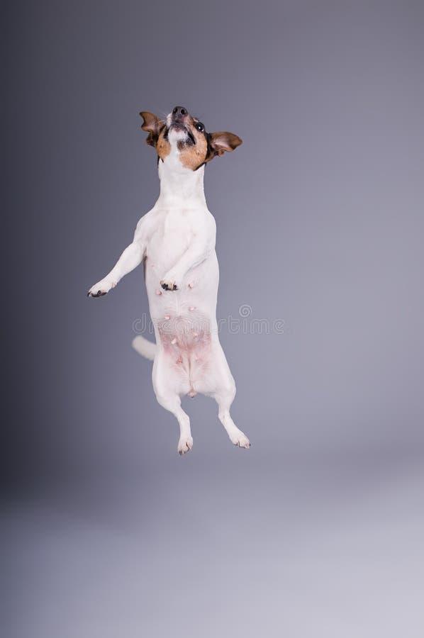 Download Jack Russel Terrier Stock Photos - Image: 7481443