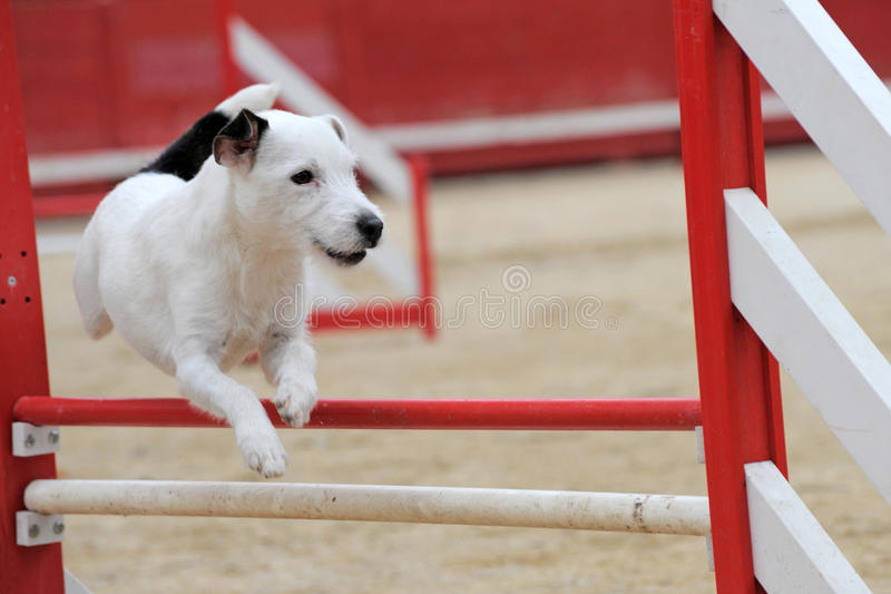Jack Russel Terrier In Agility Royalty Free Stock Photography