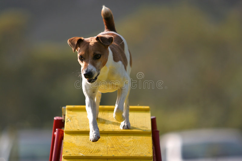 Jack Russel Terrier on a bridge stock images