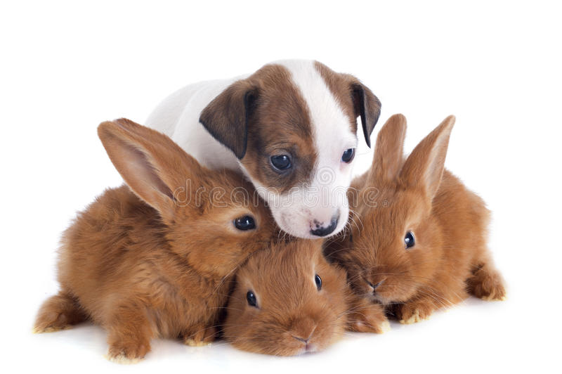 Jack russel terrier and bunnies stock photo