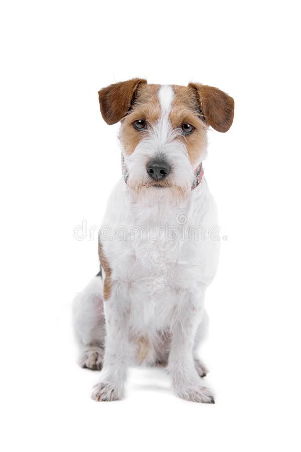 Download Jack Russel terrier dog stock photo. Image of russel - 14127662