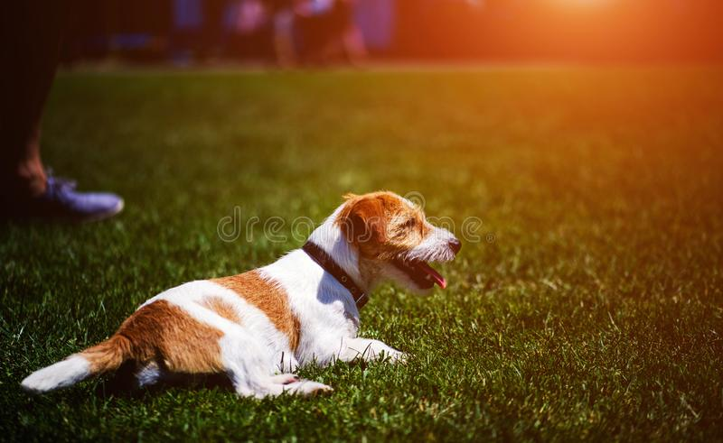 Jack Russel Terrier dog outdoors in the nature on grass meadow on a summer day royalty free stock photography