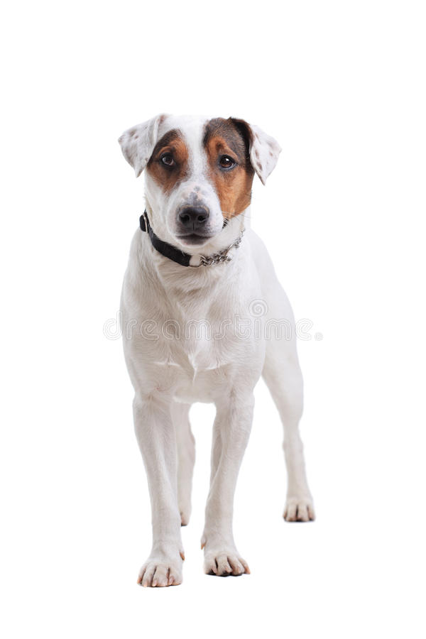 Download Jack Russel Terrier Dog Portrait Stock Photo - Image of canine, animal: 23123824