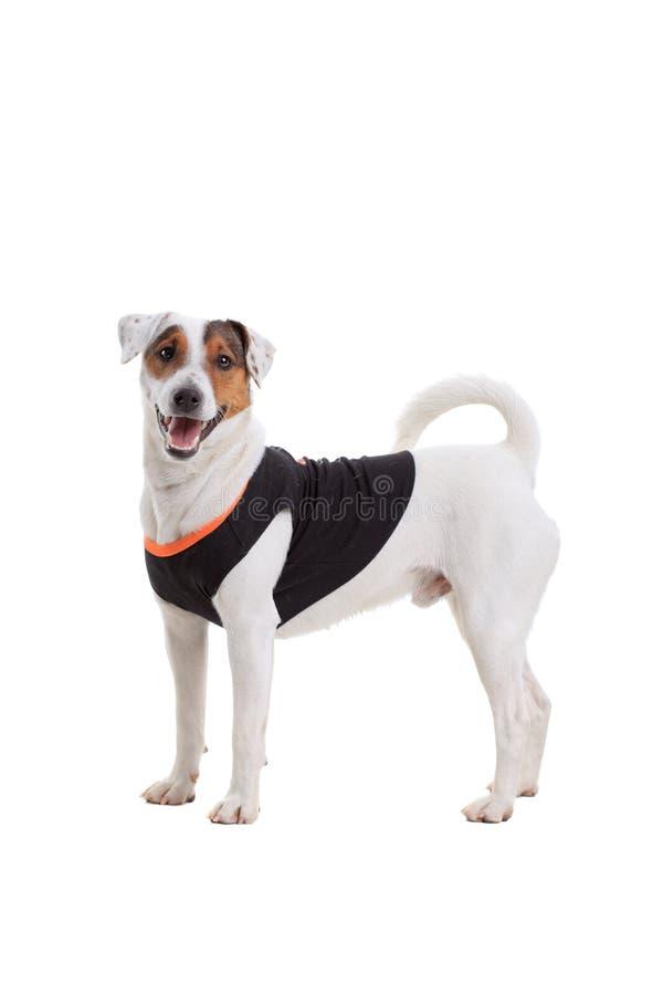 Download Jack Russel Terrier Dog Portrait Stock Photo - Image: 23418990