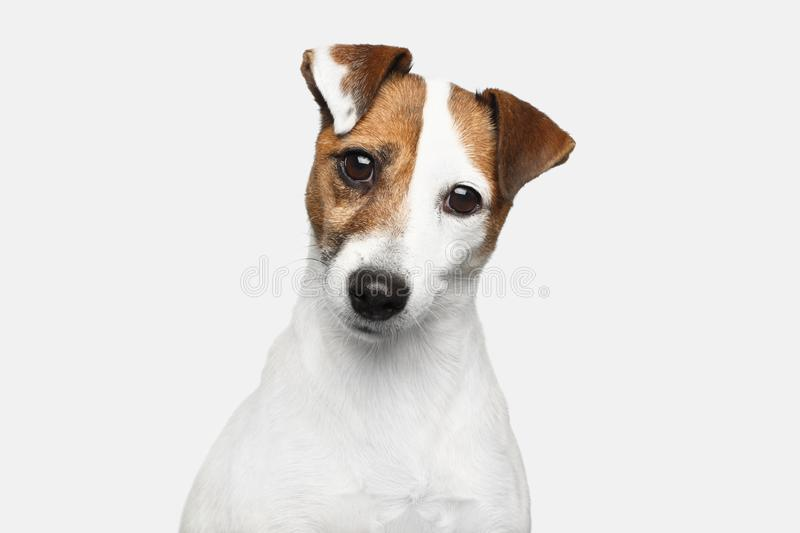 Jack Russel Terrier on Isolated Background. Cute Portrait of Jack Russel Terrier Dog bowed his head on Isolated White Background stock photo