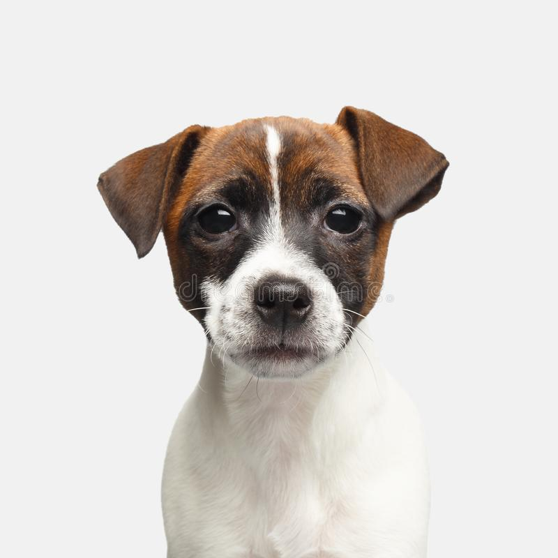 Jack russel terrier on isolated background royalty free stock photo
