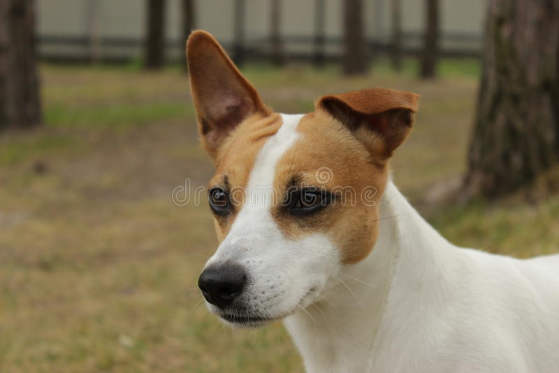 Jack Russel Terrier stock images