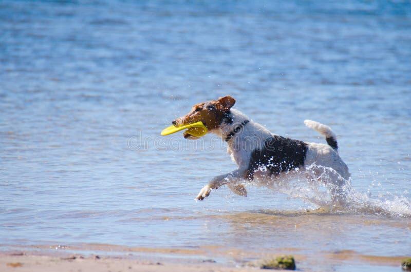 Jack Russel Terrier met een frisbee bij het strand stock afbeelding