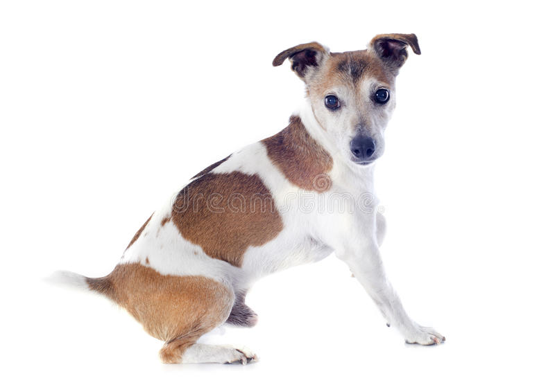 Download Jack russel terrier stock photo. Image of hunting, pedigree - 33760484