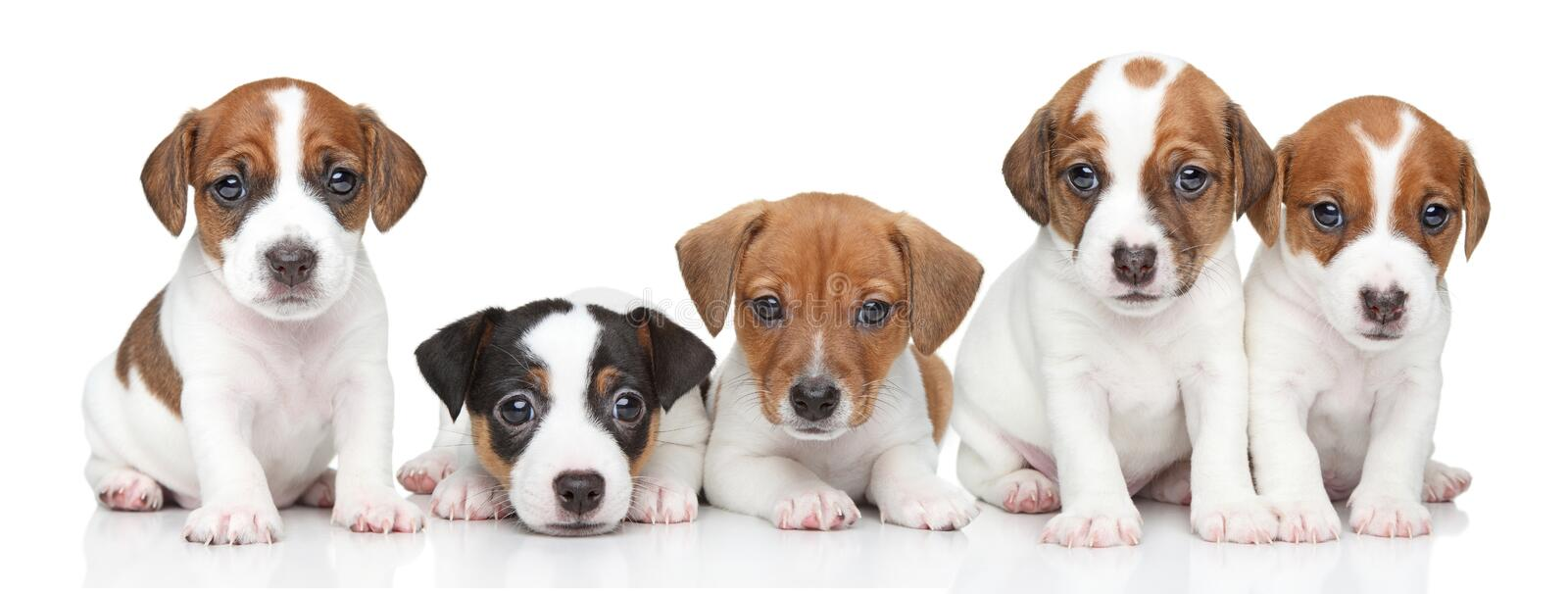 Jack Russel terrier puppies. Group portrait royalty free stock photos
