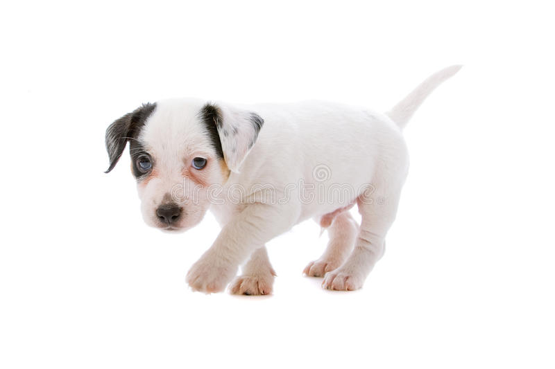 Jack Russel Terrier Puppy Stock Photos