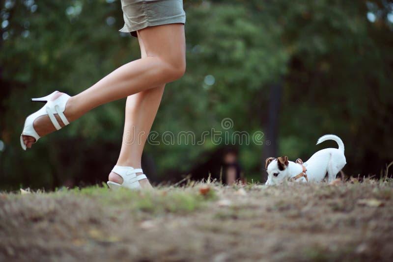 Jack Russel Terrier Puppy. Outdoor stock image