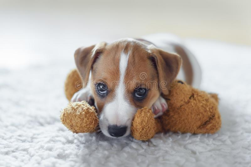 Jack russel terrier puppy. Sleeping on white bed royalty free stock images