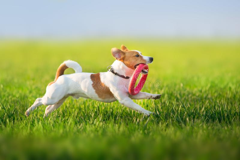 Jack russel terrier run. On green spring field royalty free stock photography