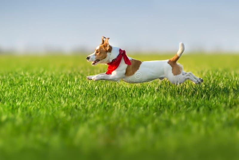 Jack russel terrier run. On green spring field stock image