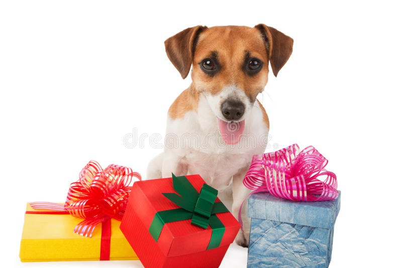 Jack Russel terrier is seating near present boxes. White background. Take my gift royalty free stock photo