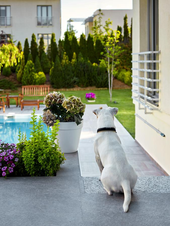 Jack russel terrier sitting in the enterance of a villa. Rear view of a Jack russel terrier dog sitting at the enterance of a house and watching the garden royalty free stock image