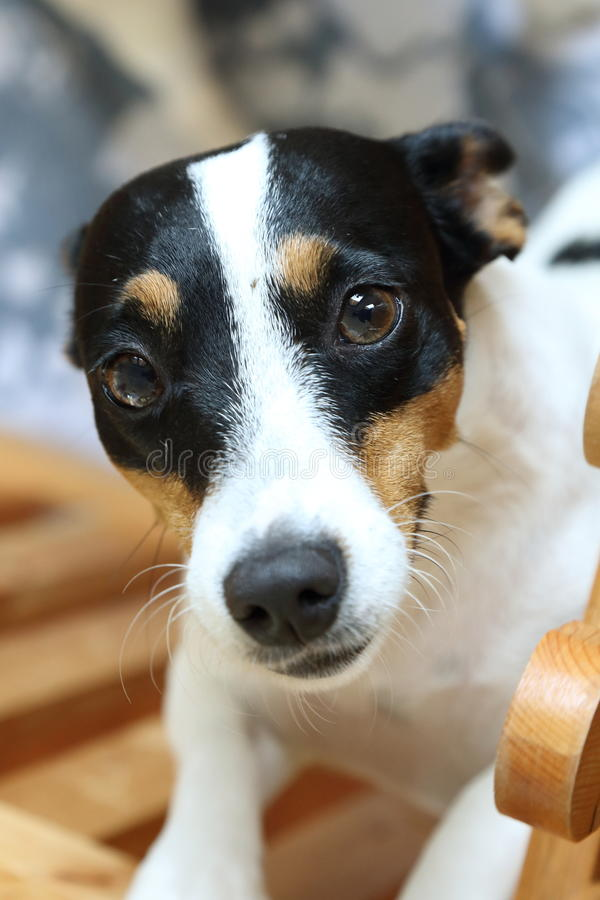 Jack russel terrier with smile face royalty free stock image
