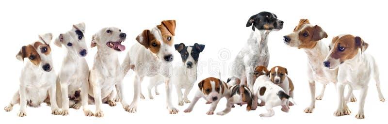 Download Jack russel terriers stock photo. Image of looking, terrier - 28058574