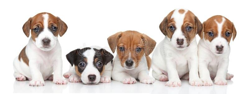 Jack Russel terriervalpar. Gruppstående royaltyfria foton