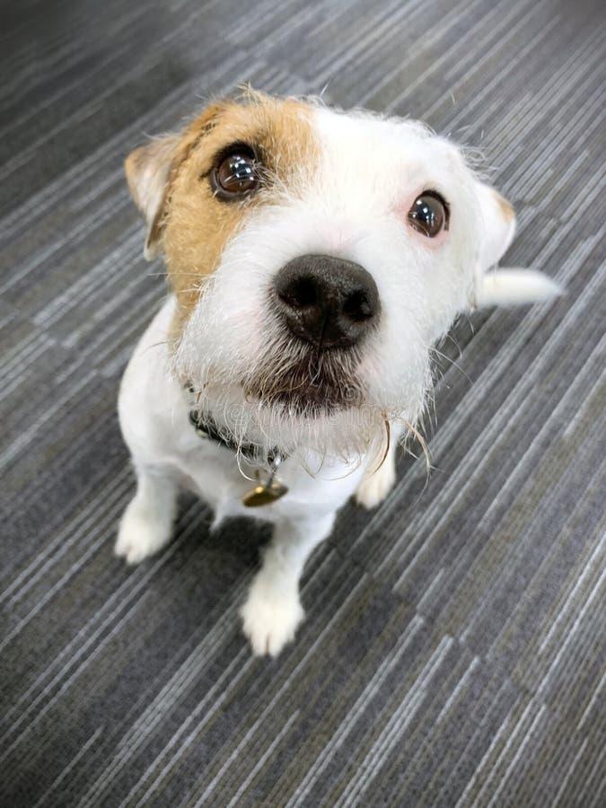 Jack Russel terrivel cão sentou-se perto imagens de stock royalty free