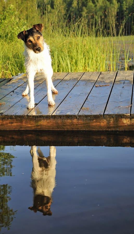 Jack Russel vuole nuotare fotografia stock libera da diritti