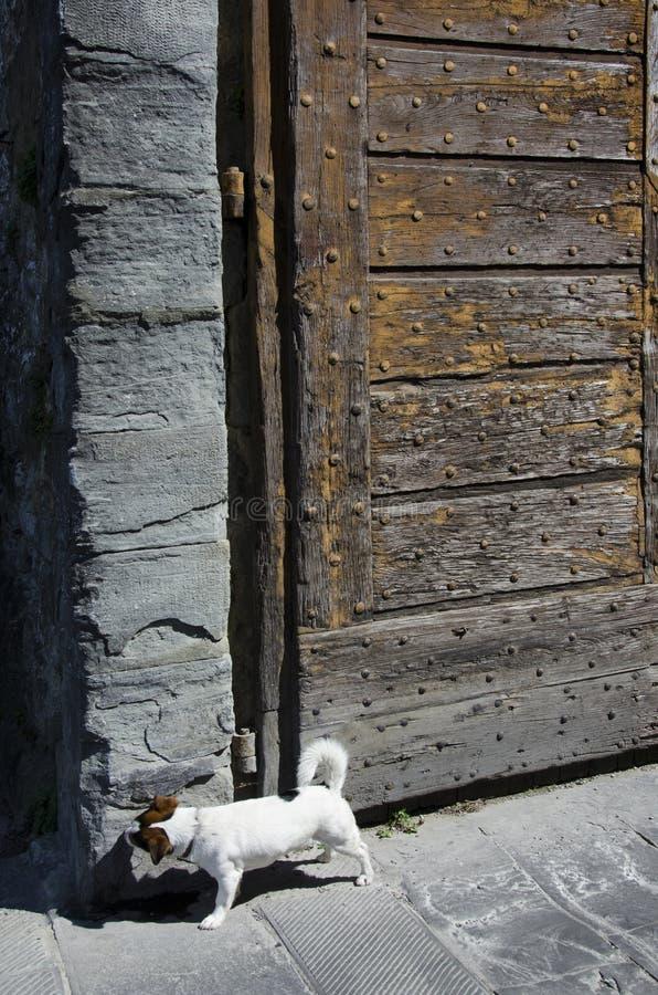 Jack Russell à la porte de ville antique dans Cortona, Italie photographie stock libre de droits