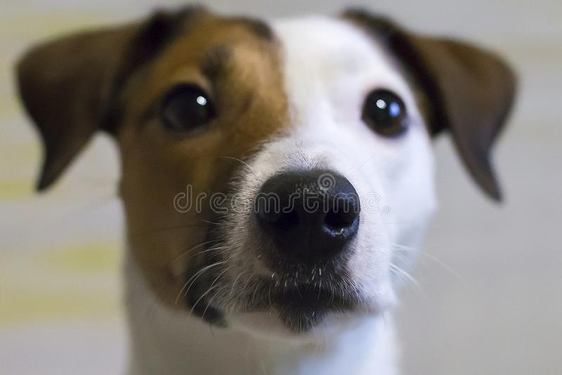 Jack Russell stock afbeelding